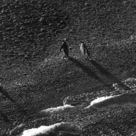pinguino-sony